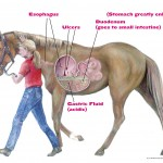 Equine Ulcers